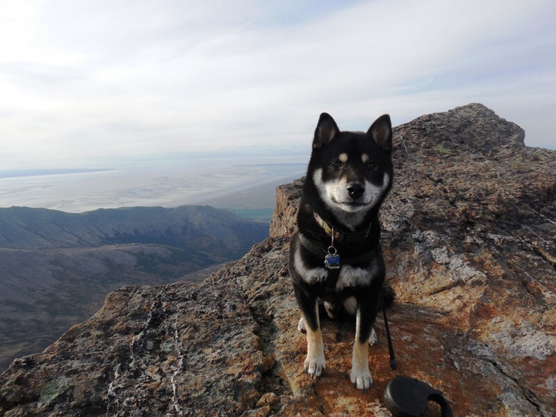ShibaInu On Ptarmigan Peak - Hike Anchorage, Alaska
